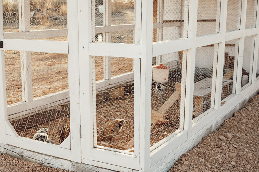 Happy chickens in their stylish and functional chicken coop DIY