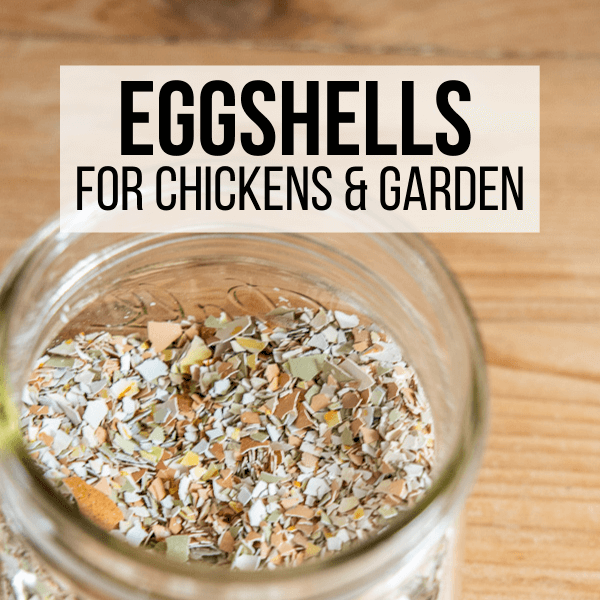 How to Use Egg Shells In Your Garden and With Your Chickens