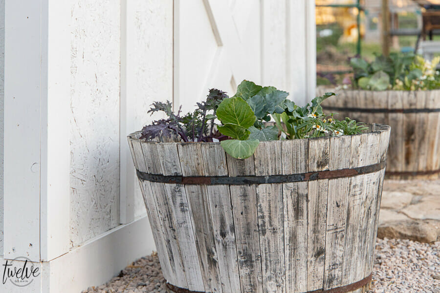 Wine barrel planters in the garden full of veggie plants, including broccoli, kale, and cabbage! Gorgeous and delicious!